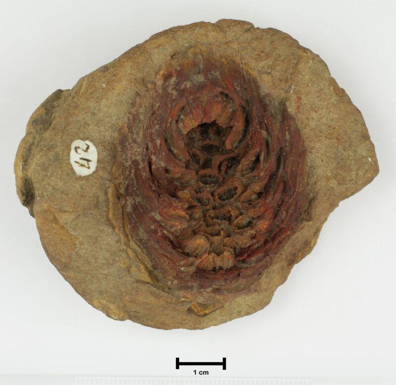 Photo of the original conifer cone specimen
