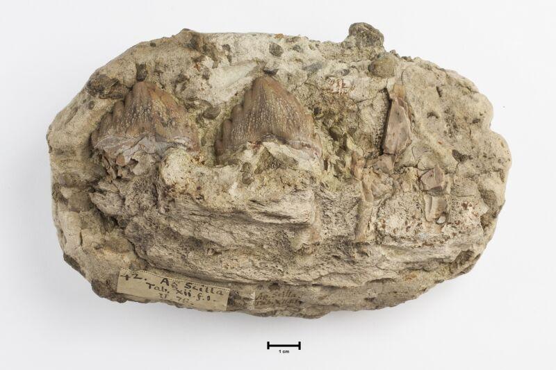 Original illustration of the fossil