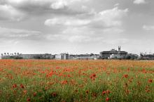 Red poppies in field with Addenbrooke's behind